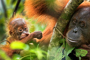 Sumatran orangutan (Pongo abelii) female with infant. The female Marconi had been rehabilited by SOCP program. She had a baby in 2017 born in the forest of Jantho, Aceh province where she was been rel...  -  Maxime Aliaga
