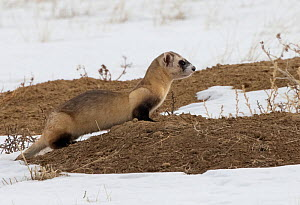 Black-footed ferret (Mustela nigripes) at edge of Prairie dog (Cynomys sp) burrow, hunting for prey. A reintroduction programme is underway with approximately 300 individuals of this critically endang...  -  Charlie Summers