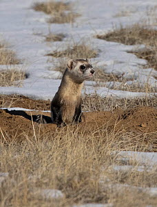 Black-footed ferret (Mustela nigripes) leaving a Black-tailed prairie dog (Cynomys ludovicianus) burrow whilst hunting for prey on snow covered prairie. Colorado, USA. January.  -  Charlie Summers