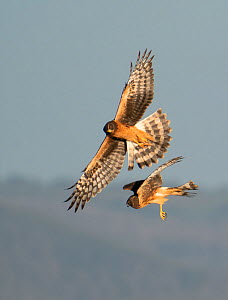 Northern harrier (Circus hudsonius), two juvenile females hunting. North Park, Colorado, USA. August.  -  Charlie Summers