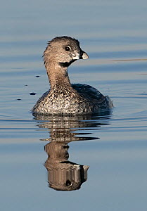 Pied-billed grebe (Podilymbus podiceps) reflected in pond. North Park, Colorado, USA. August.  -  Charlie Summers