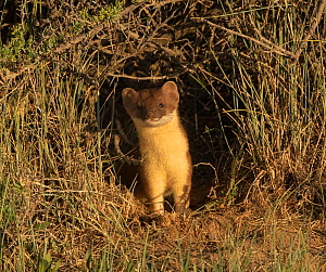 Short-tailed weasel (Mustela erminea) emerging from one of tunnels. Arapaho Wildlife Refuge, Colorado, USA. June.  -  Charlie Summers