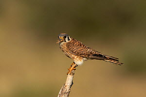 American kestrel (Falco sparverius) with grasshopper in bill, perched on snag before returning to nest. Elbert County, Colorado, USA. July.  -  Charlie Summers