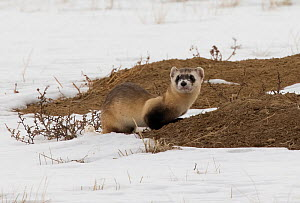 Black-footed ferret (Mustela nigripes) on Black-tailed prairie dog (Cynomys ludovicianus) mound, in snow. A reintroduction programme is underway with approximately 300 individuals of this critically e...  -  Charlie Summers