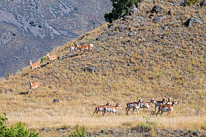 Pronghorn (Antilocapra americana). Buck trying to keep control of his herd during mating season. Yellowstone National Park, Wyoming, USA. September.  -  George Sanker