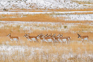 Pronghorn (Antilocapra americana) buck trying to keep control of his herd during mating season. Yellowstone National Park, Wyoming, USA. September.  -  George Sanker