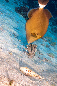 Bridled triggerfish (Sufflamen fraenatum) feeding on Marlinspike auger (Oxymeris maculata) after extracting it from sand. Pacific Ocean, Hawaii. Sequence 3/4.  -  David Fleetham