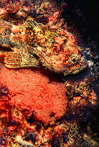 Buffalo sculpin (Enophrys bison) male guarding its egg mass, British Columbia, Canada.  -  David Fleetham