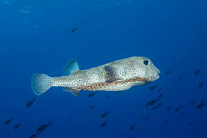 Spotted porcupinefish (Diodon hystrix) hovering, Hawaii.  -  David Fleetham