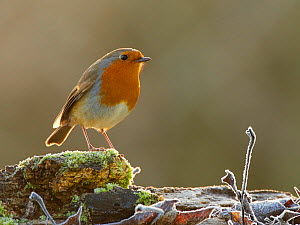 European Robin (Erithacus rubecula) in frosty garden, Wales, UK, January.  -  Andy Rouse