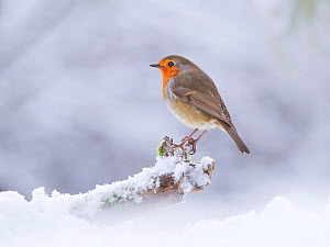 European Robin (Erithacus rubecula) in snowy garden, Wales, UK, January.  -  Andy Rouse