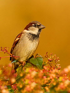 House sparrow (Passer domesticus) male in garden Wales, UK, February  -  Andy Rouse