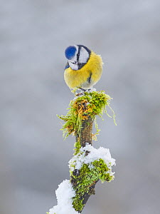 Blue tit (Cyanistes caeruleus) in winter garden, Wales, UK, January  -  Andy Rouse