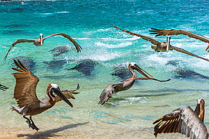 Galapagos sea lion (Zalophus wollebaeki) hunting cooperatively by driving Amberstripe scad fish (Decapterus moruadsi) from open sea to small cove, with Brown pelicans (Pelecanus urinator) and sharks o...  -  Tui De Roy