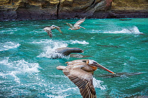 Galapagos sea lion (Zalophus wollebaeki) hunting cooperatively by driving Amberstripe scad fish (Decapterus moruadsi) from open sea to small cove, with Brown pelicans (Pelecanus urinator) opportunisti...  -  Tui De Roy