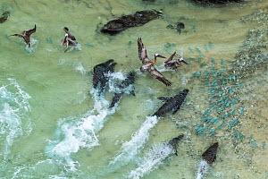 Aerial view of Galapagos sea lion (Zalophus wollebaeki) hunting cooperatively by driving Amberstripe scad fish (Decapterus moruadsi) from open sea to small cove, with Brown pelicans (Pelecanus urinato...  -  Tui De Roy