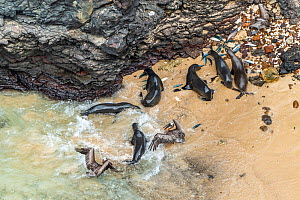 Aerial view of Galapagos sea lion (Zalophus wollebaeki) feeding on Amberstripe scad fish (Decapterus moruadsi) that they hunted cooperatively by driving from open sea to small cove, with Brown pelican...  -  Tui De Roy