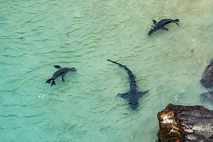 Aerial view of Galapagos sea lion (Zalophus wollebaeki) hunting cooperatively by driving Amberstripe scad fish (Decapterus moruadsi) from open sea to small cove, with Blacktip reef sharks (Carcharhinu...  -  Tui De Roy