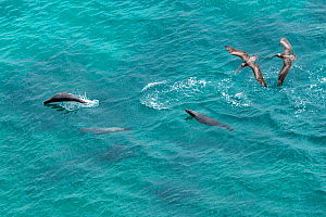 Galapagos sea lion (Zalophus wollebaeki) hunting cooperatively by driving Amberstripe scad fish (Decapterus moruadsi) from open sea to small cove, with Brown pelicans (Pelecanus urinator) following. B...  -  Tui De Roy