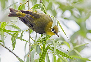 Chestnut-flanked white-eye (Zosterops erythropleurus) perched in tree. Happy Island, China.  -  Markus Varesvuo