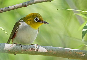 Chestnut-flanked white-eye (Zosterops erythropleurus) perched on branch. Happy Island, China.  -  Markus Varesvuo