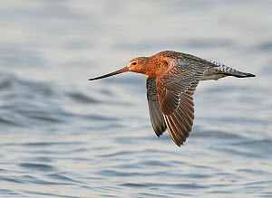 Bar-tailed godwit (Limosa lapponica) in flight over sea. Happy Island, China. May.  -  Markus Varesvuo