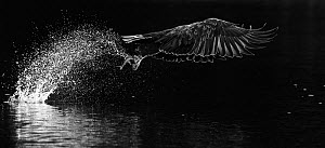White-tailed eagle (Haliaeetus albicilla) taking off from water with fish in talons. Norway. October.  -  Markus Varesvuo