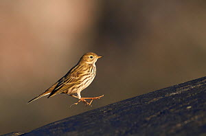 Meadow pipit (Anthus pratensis) landing, in mid air. Uto, Finland. October.  -  Markus Varesvuo