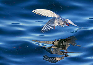 Arctic tern (Sterna paradisaea) in flight over water, multiple reflections in sea. Iceland. June.  -  Markus Varesvuo