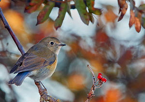 Red-flanked bluetail (Tarsiger cyanurus) male perched on branch. Uto, Finland. October.  -  Markus Varesvuo