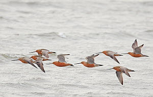 Bar-tailed godwit (Limosa lapponica) flock in flight over sea. Happy Island, China. May.  -  Markus Varesvuo