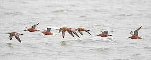 Bar tailed godwit (Limosa lapponica) flock flying low over sea. Happy Island, China.  -  Markus Varesvuo