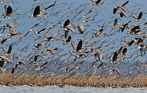 White-fronted goose (Anser albifrons) and Taiga bean goose (Anser fabalis) flocks flying and on water. Latvia. April.  -  Markus Varesvuo