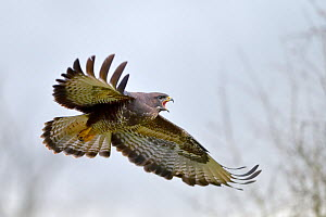 Buzzard (Buteo buteo) flying and calling in winter, Lorraine, France, January  -  Michel Poinsignon