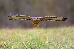 Buzzard (Buteo buteo) flying low over grass before landing in winter, Lorraine, France, February  -  Michel Poinsignon