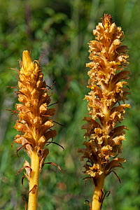 Knapweed broomrape (Orobanche elatior). Wiltshire, England, UK. June.  -  Nick Upton