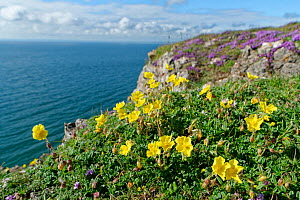 Common rock-rose (Helianthemum nummularium) and Wild thyme (Thymus polytrichus) clumps on limestone cliff top. Rhossili, The Gower, Glamorgan, Wales, UK. July 2020.  -  Nick Upton