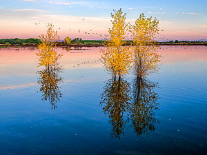 Cottonwoods in autumn in the ponds of the refuge in morning light with reflections in the rising water level, near the Colorado River, Cibola National Wildlife Refuge, Arizona, USA. November 2020.  -  Jack Dykinga