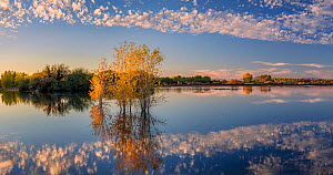 Cottonwoods in autumn in the ponds of the refuge in evening light with reflections in the rising water level, near the Colorado River, Cibola National Wildlife Refuge, Arizona, USA. November 2020.  -  Jack Dykinga