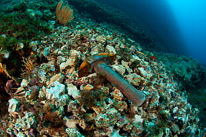 Hammer discarded after being used to break the rock illegally to collect Date shells (Lithophaga lithophaga) Vervece Rock, Punta Campanella Marine Protected Area, Amalfi Coast, Italy, Tyrrhenian Sea,...  -  Franco Banfi