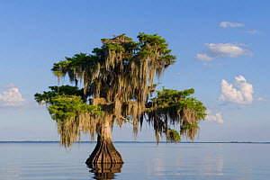 Bald cypress tree (Taxodium distichum) draped with epiphytic Spanish moss (Tillandsia usneoides), with an osprey (Pandion haliaetus) sitting in nest in top of tree. Blue Cypress Lake, Florida, USA. Ap...  -  John Shaw