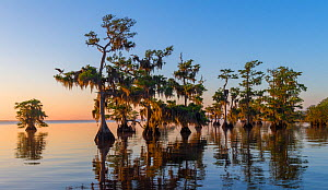 Bald cypress trees (Taxodium distichum) in early morning, and epiphytic Spanish moss (Tillandsia usneoides). Several osprey (Pandion haliaetus) and nests are in the frame. Blue Cypress Lake, Florida,...  -  John Shaw
