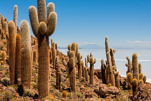 Giant Cordon cacti (Echinopsis atacamensis) on Incahuasi Island in Salar de Uyuni salt flats, Bolivia. March  -  John Shaw