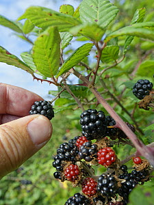 Blackberry (Rubus fruticosus) ripe fruit being picked from a bush in a hedgerow, Wiltshire, UK, September. Model released.  -  Nick Upton