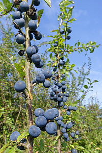 Blackthorn (Prunus spinosa) sloes ripening in dense clusters in a hedgerow, Wiltshire, UK, September.  -  Nick Upton