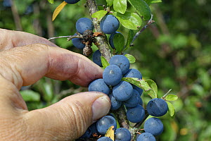 Blackthorn (Prunus spinosa) sloes being picked from a hedgerow bush, Wiltshire, UK, September. Model released.  -  Nick Upton
