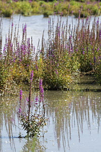 Purple loosestrife (Lythrum salicaria) clump flowering in a flooded water meadow, Gloucestershire, UK, September.  -  Nick Upton