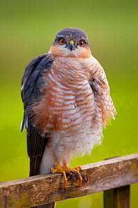 Sparrowhawk (Accipiter nisus) adult male, looking at camera on garden trellis, Somerset, UK, April..  -  Warwick Sloss
