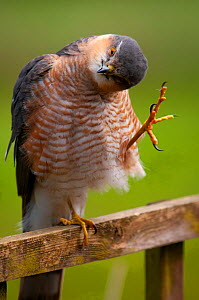 Sparrowhawk (Accipiter nisus) adult male, preening on garden trellis, Somerset, UK, April..  -  Warwick Sloss