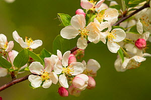 Apple tree (Malus domestica) blossom flowers, Somerset, UK, April.  -  Warwick Sloss